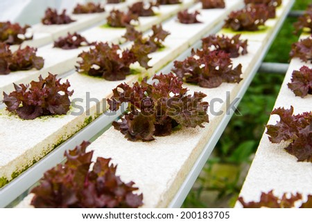 Fresh lettuce growing in an hydroponics system. - stock photo