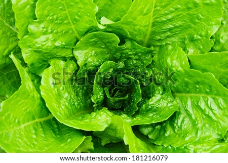 fresh lettuce leaves and heart - stock photo