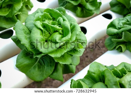 Fresh lettuce leaves, close up.,Butterhead Lettuce salad plant, hydroponic vegetable leaves