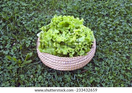 fresh lettuce salad in wooden wicker basket on summer garden grass - stock photo