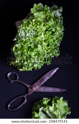 Fresh Lettuce with Big Vintage Scissors on a Black Wet Surface - stock photo