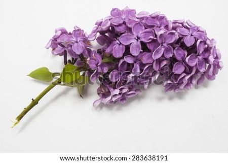 Fresh lilac flower isolated on white background . Spring flower, twig purple lilac. Syringa vulgaris. - stock photo