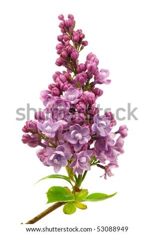 Fresh Lilac isolated on white background - stock photo