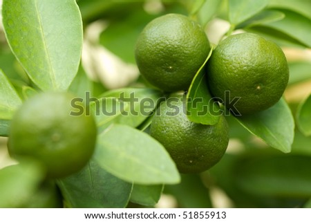 Fresh lime fruits on tree, selective focus.