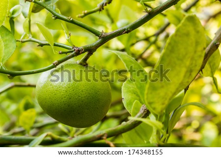 Fresh lime hanging on a lime tree.