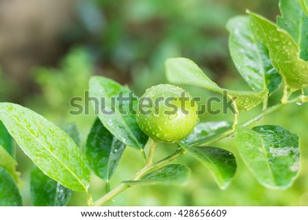 Fresh Lime tree with fruits