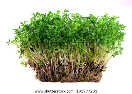 Fresh, live garden cress growing with roots against a white background. - stock photo