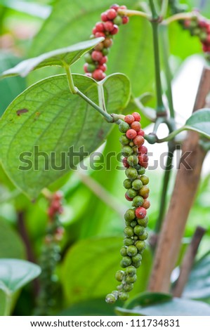 Fresh live green-red pepper in plantation - stock photo