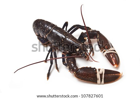 Fresh lobster (common European) Homarus gammarus isolated on a white studio background.