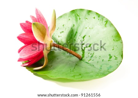 fresh lotus on leaf - stock photo