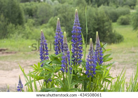 Fresh lupine blooming in spring or summer. High lush purple lupine flowers, summer or spring. Blossoming lupines in foreground. Horizontal image.  - stock photo