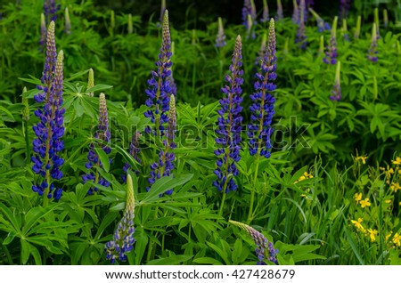 Fresh lupine close up blooming in spring. High lush purple lupine flowers, summer meadow. Blossoming lupines in foreground. - stock photo