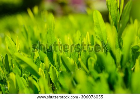 Fresh lush green leaves background texture with shallow DOF and blur for eco and bio themed concepts - stock photo