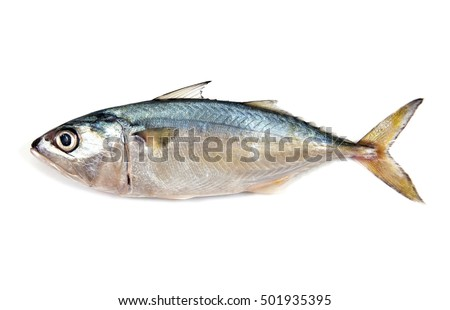Fresh mackerel isolated on white background.Fresh mackerel fish isolated.Mackerel fish isolated.Mackerel isolated