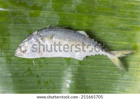 Fresh mackerel or tuna steamed fish on banana green leaf from sea for food background - stock photo