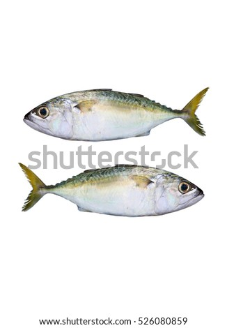 fresh mackerels isolated on white background