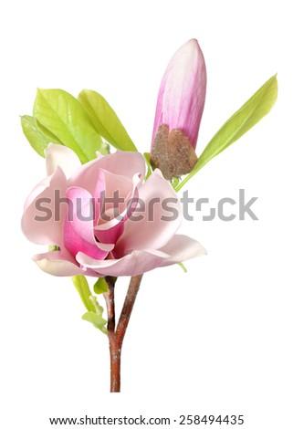 fresh magnolia flowers isolated on white background  - stock photo