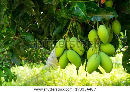 Fresh mangoes on tree - stock photo