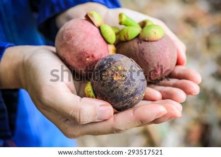 fresh mangosteen on hand from garden - stock photo