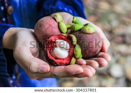 fresh mangosteen on hand from garden - stock photo