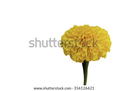 fresh marigold flower in side view isolate on white background - stock photo