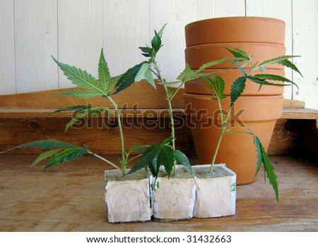 fresh Marijuana plants/the process of home-growing weed - stock photo