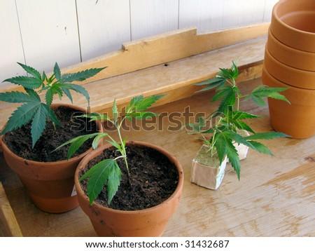 fresh Marijuana plants/the process of homegrowing weed - stock photo