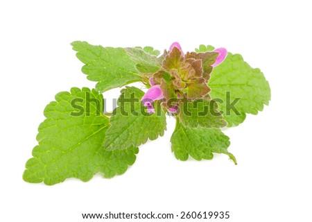 Fresh melissa  herb leaves isolated on white background  - stock photo