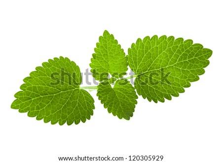 Fresh melissa leaves isolated on white background - stock photo