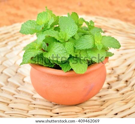 fresh mint leaf on clay pot - stock photo