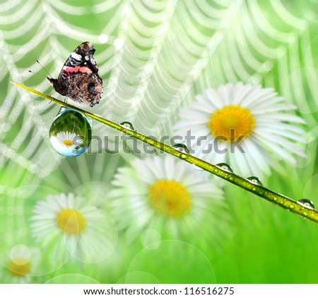 Fresh morning dew and butterfly on the background daisies and spiderweb - stock photo