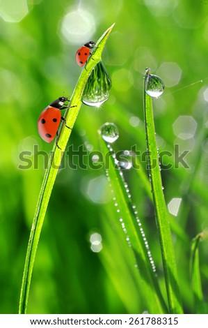 Fresh morning dew and ladybirds. Nature background. - stock photo