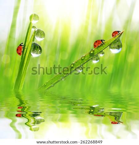 Fresh morning dew and ladybirds. Nature background - stock photo