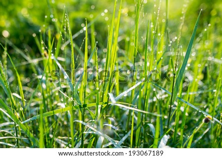 Fresh morning dew on grass, natural background - close up  - stock photo