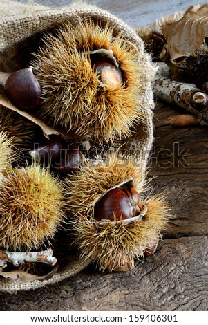 fresh natural chestnuts and curly just picked