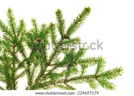 Fresh natural fir branch isolated on white background