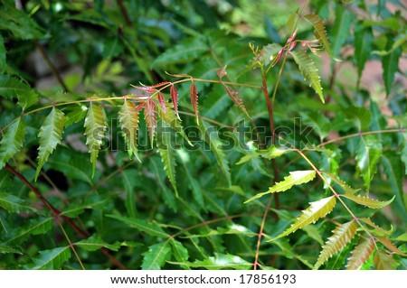 fresh neem leaves - stock photo