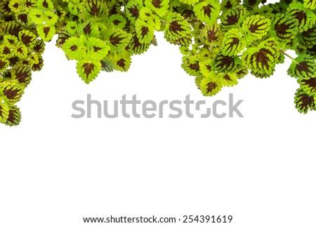 fresh nettle (coleus)  grass isolated on white background - stock photo