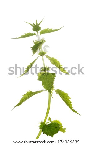 Fresh nettle with flowers. Isolated on white - stock photo