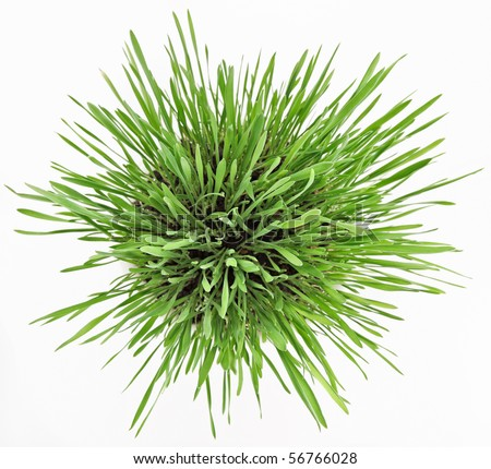 Fresh new green grass in white plate isolated on white background - stock photo