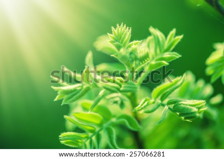 fresh new green leaves glowing in sunlight. Defocus view for background and copy space - stock photo