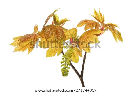 Fresh new leaves and flower of a sycamore tree isolated against white - stock photo