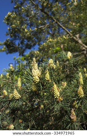 Fresh new pine cones growth on a clear spring day - stock photo