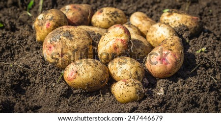 Fresh new potatoes on the ground close up - stock photo