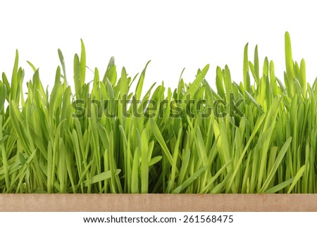 fresh oat sprouts border in box, isolated - stock photo