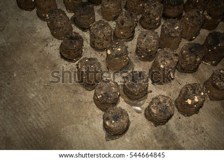 Fresh of eatable mushroom plantation on bag in farm, mushroom growing up in plant nusery,natural food concept, agricultural industry concept