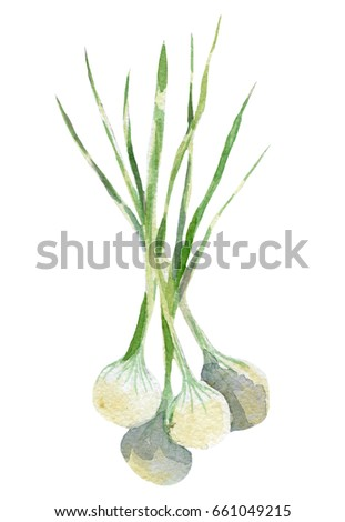 fresh onion illustration. Hand drawn watercolor on white background.