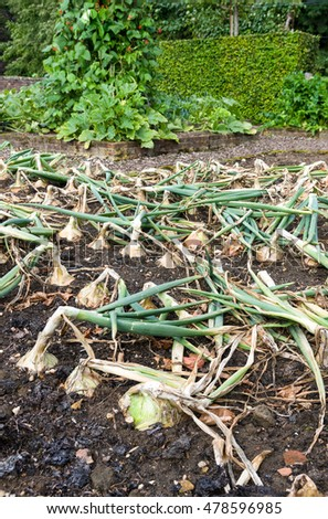 Fresh onions  growing in a small formal garden.