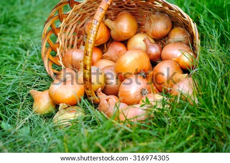 Fresh onions in basket on grass - stock photo
