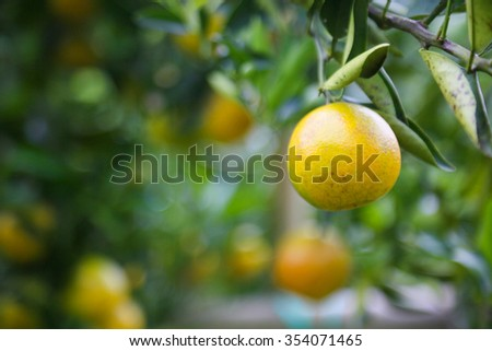 fresh orange fruit in orchard, Clean fruit or popular fruit background, market fruit from agriculture orchard, fresh fruit in the nature.